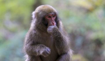 2016年 申年 年賀状に猿の写真を ...